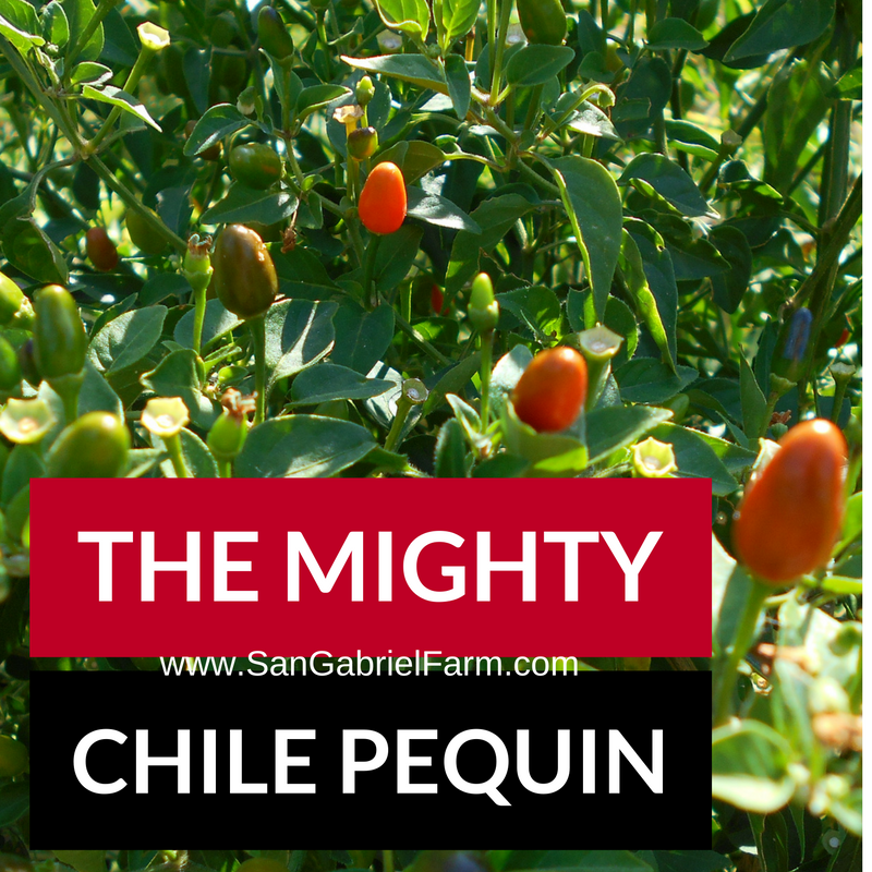 the mighty chile pequin
