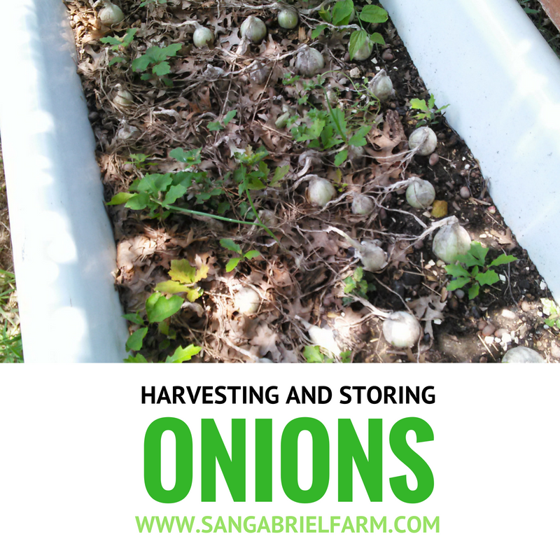 harvesting-and-storing onions