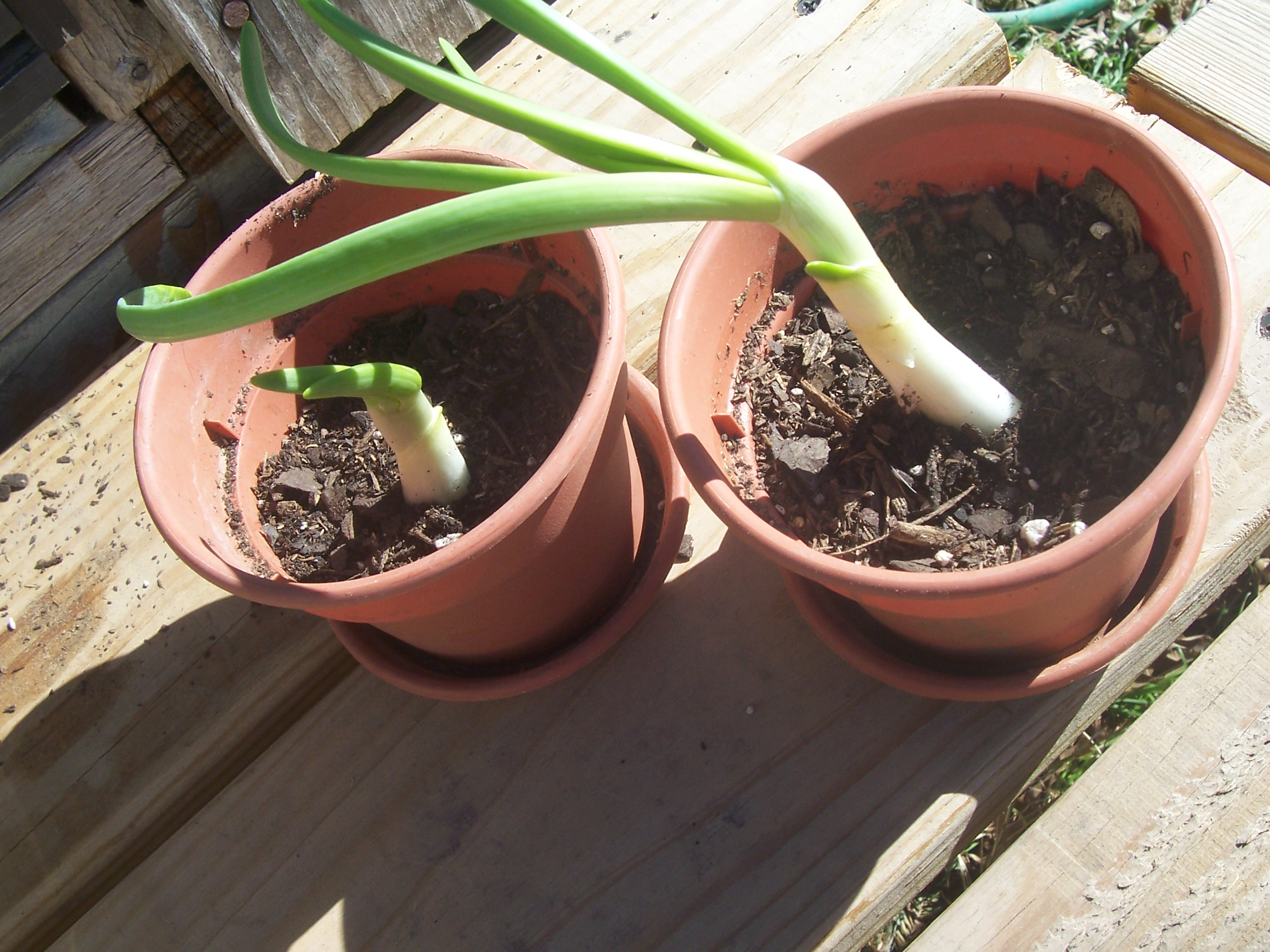 re-growing onions