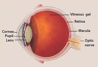 glaucoma - optic nerve