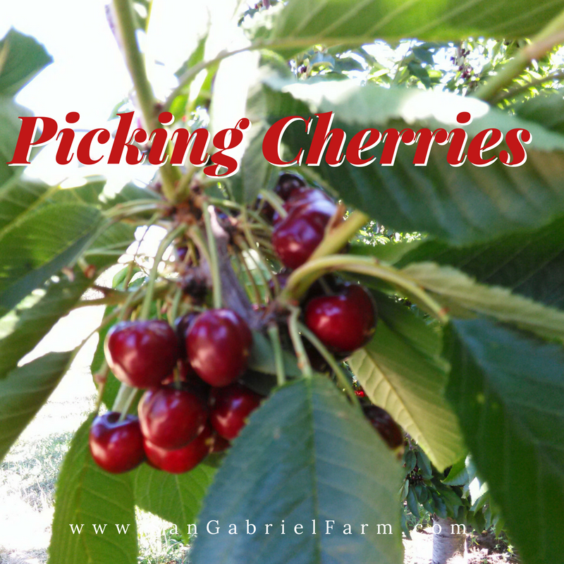Picking Cherries